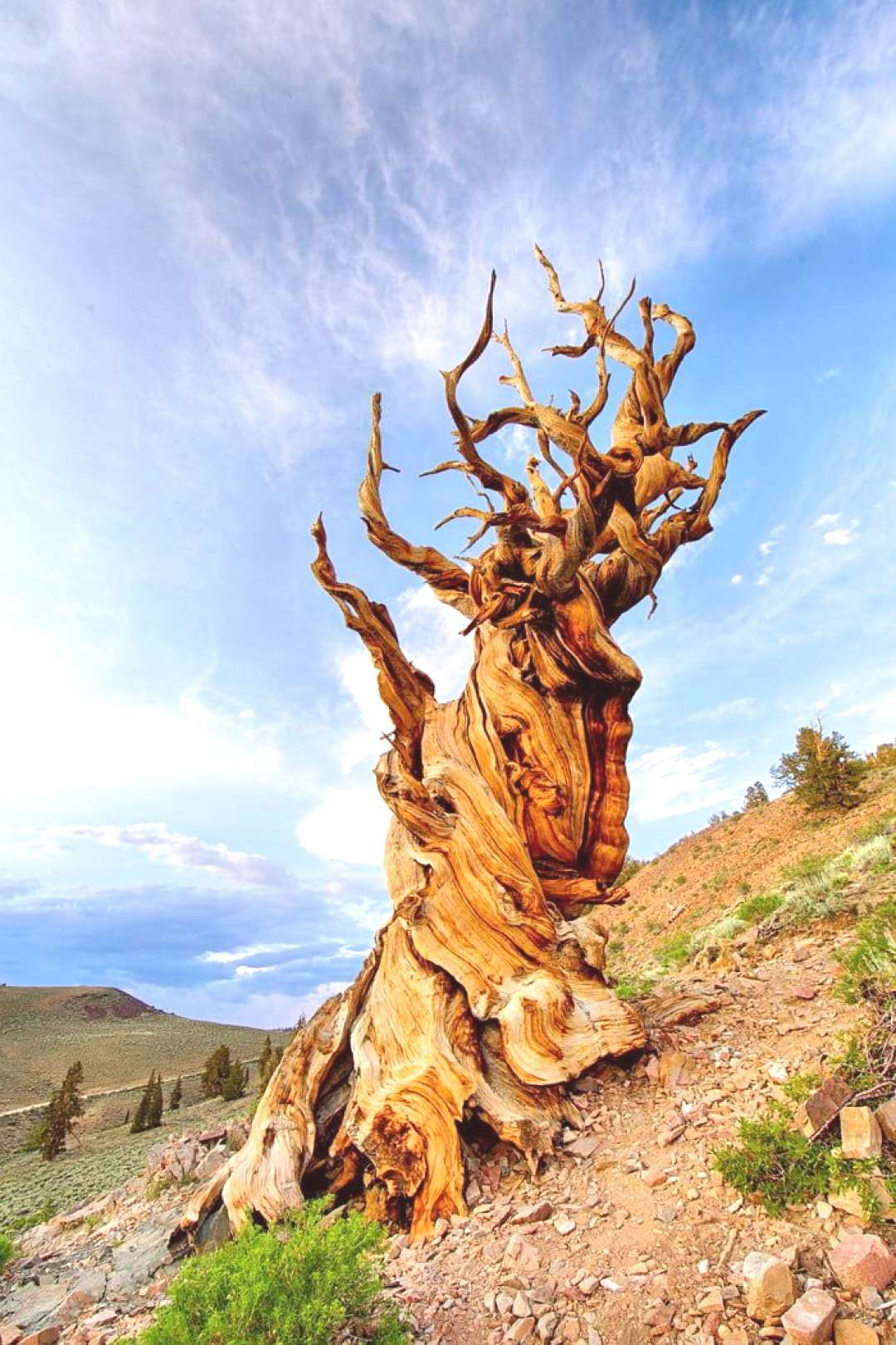 Methuselah, the oldest known tree in the world, is 4,850 years old, meaning it was established duri